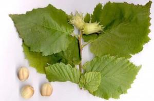 Hạt cây phỉ (Witch hazel) có chứa tanin, flavonoid,...