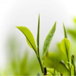 Giảm cân cực kỳ hiệu quả với trà xanh
